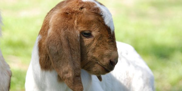 Boer Goat display